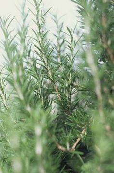 How to Prune Rosemary. Trim down to about half the height. Do not cut too low down