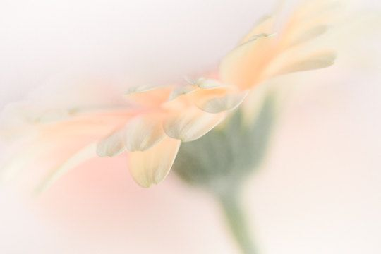 SPRING Flower Photography  Oversized Apricot by CrionnaPhotography