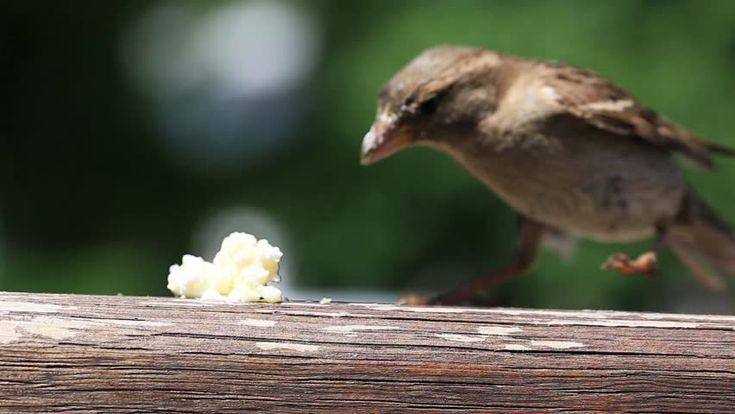 Detail Of Little Sparrow Eating Filmati e video d'archivio 15419944 - Shutterstock