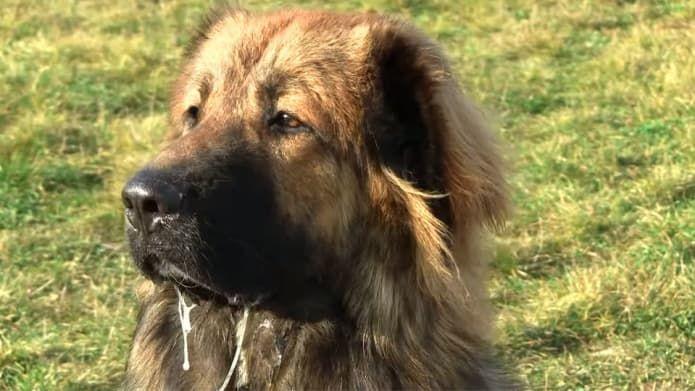 Image result for estrela mountain dog