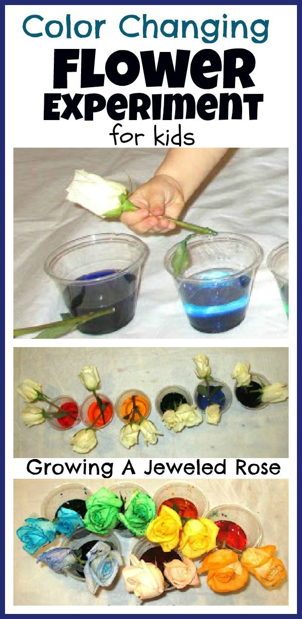 Color Changing Flower Experiment for Kids- fun Science!
