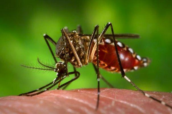 GMO Mosquitoes, fight dengue fever