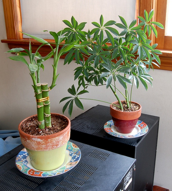 small bamboo plants