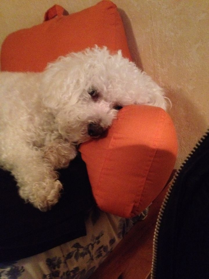 Day Light Savings Time is hard on a Bichon