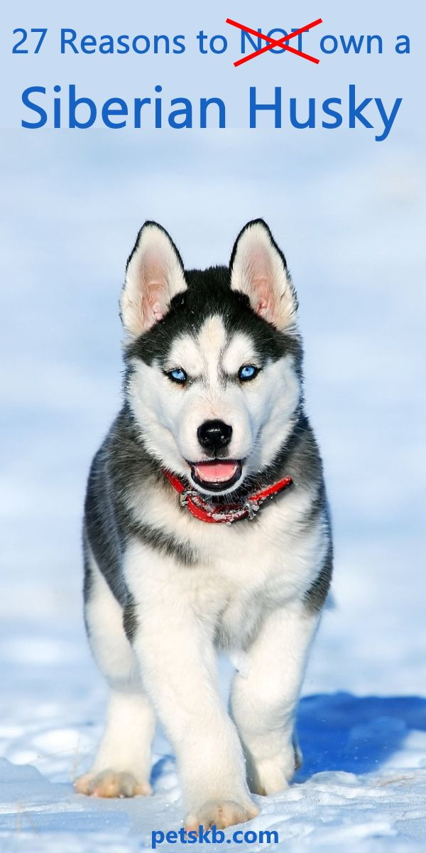 27 Best Reasons To Own A Siberian Husky Dog Training Training