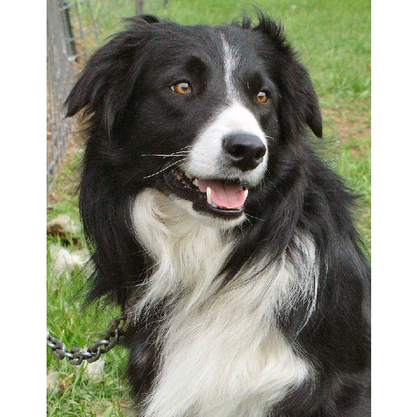 Canada Border Collies Breeders California Border Collies For Sale found on Polyvore