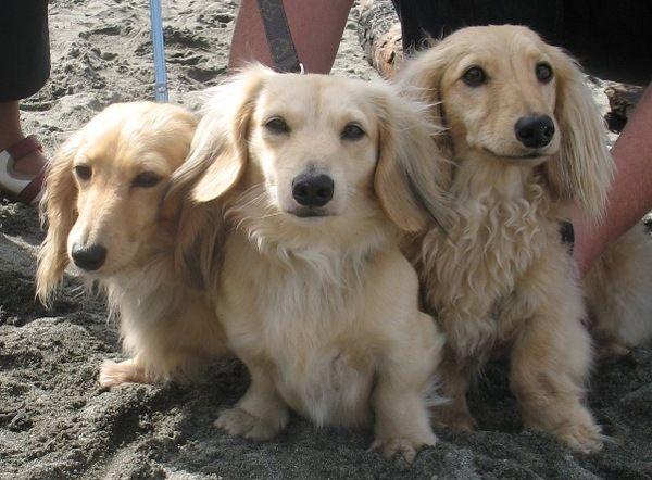 Three handsome dachshunds.
