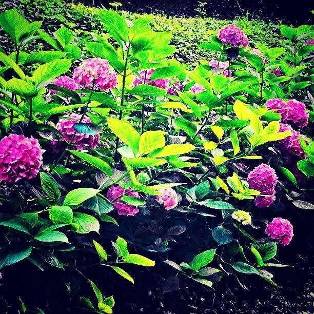 #flowers  #colors for @sebakebriai #fiori #fleures #ortensie #gardens #giardini