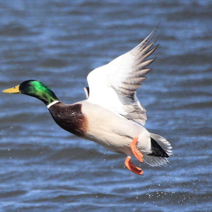 The mallard duck is commonly found in the Kulm Wetland Management District. Females (hens) nest on the ground in grasslands. The one pictured, however, is a male or drake. Photo Credit: Krista Lundgren/USFWS