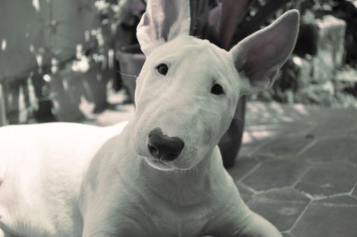 bull terrier: Bull Terriers, Cutest Dogs, Therapist Dogs, Bullterri Dogs, Bull Terrier, Dogs Pictures, English Bull, Animal, Dogs Giggl