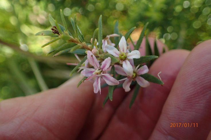 False Buchu / Agathosma ovata (Plants) by PeterRWarren on 1484478708 | iSpot