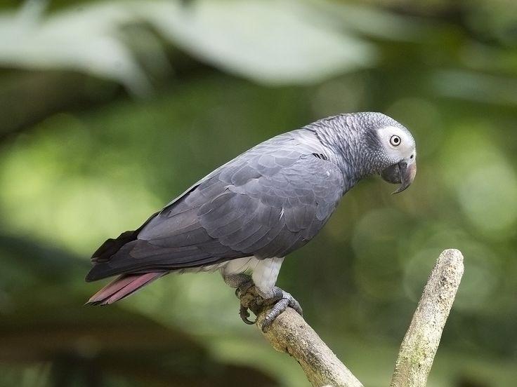 Timneh African Grey Parrot (Timneh Grey Parrot) _ JBP | by mahi mahi 163