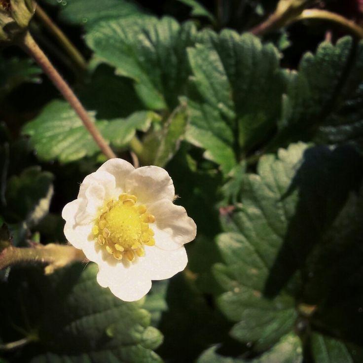 """""""Sweetheart"""" Strawberries in full flower & fruit"""