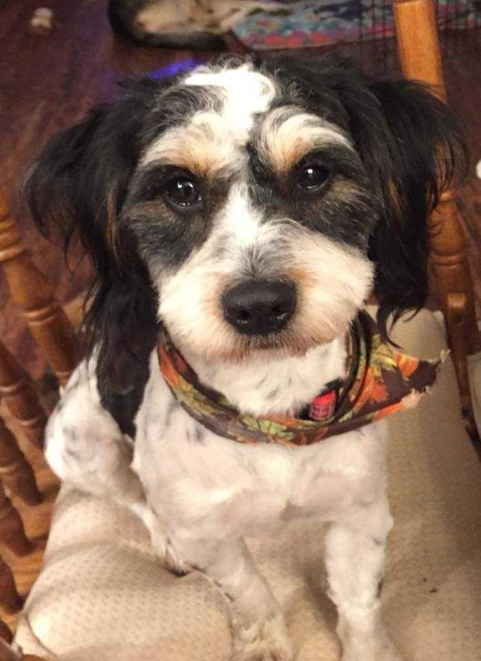 Shamus Shih Tzu Norfolk Terrier Mix Male Young Haven Dog Rescue Roseville Ca Norfolk Terrier Rescue Dogs Terrier Mix