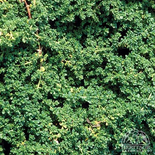 Herniaria glabra- Rupturewort.  Sometimes used as a lawn substitute because it tolerates high foot traffic.  Spreads up to 2' per plant.  Tolerates a variety of sun and soil conditions.  Deer resistant evergreen.