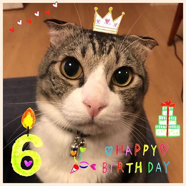 🎉🎂🎉 . Happy the 6th birthday❣️ . 今日は福ちゃんの仮のお誕生日🎂&うちの子記念日です🎊㊗️ . ちょうど1年前の今日、福ちゃんは我が家の子になりました😊💕 保護猫でずっと狭いケージ生活だったからびびりんぼで何をされてもじーっと我慢してた福ちゃん❤️ 当時は大きなお目目もつり上がってたね😅 . かーちゃんが一目惚れしてたとーちゃんを猛説得したんだよ❤️ . 先代にゃんことはほんの2ヶ月しか一緒に居られなかったけど仲良くしてくれてありがとう😊💕 小梅ちゃんを優しく受け入れてくれてありがとう❤️ うちの子になってくれてありがとう😘 食べ放題は無理だけど美味しいご飯とオヤツでお祝いしよーねー❤️ ❤︎ ❤︎ ❤︎ #cat #catsofinstagram #にゃんすたぐらむ #にゃんだふるらいふ #にゃび #ねこ部 #ペコねこ部 #ねこあつめ #ふわもこ #ふわもこ部 #スコミックス #サバ白 #愛猫 #まなねこ #cats_of_instagram #ピクネコ #九州ねこ部 #みんねこ #まん丸ねこ部 #北部九州にゃん友会
