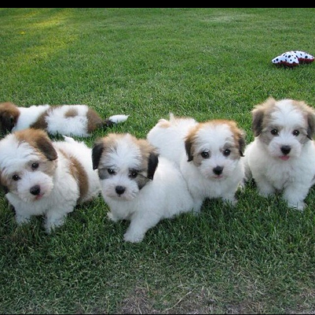 Coton de Tulear. If I could have just one!