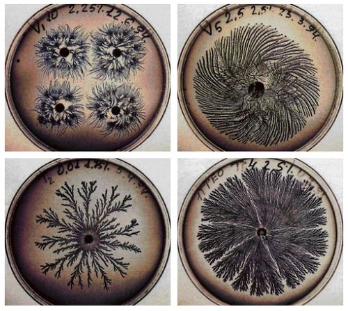 Beautiful Bacteria  The images above are some examples of rotex fractal growth found in colonies of Bacillus subtilis. The varying branching patterns are caused by changes in the environmental conditions of the bacteria as they grow.  via: fuckyeahmolecularbiology