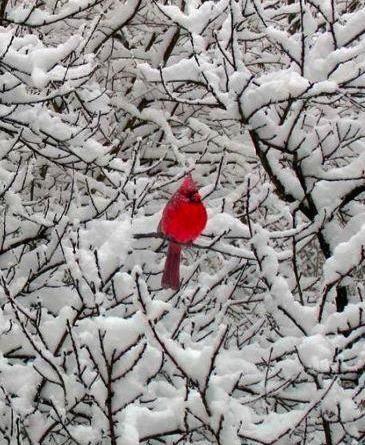 Cardinal in winter wonderland
