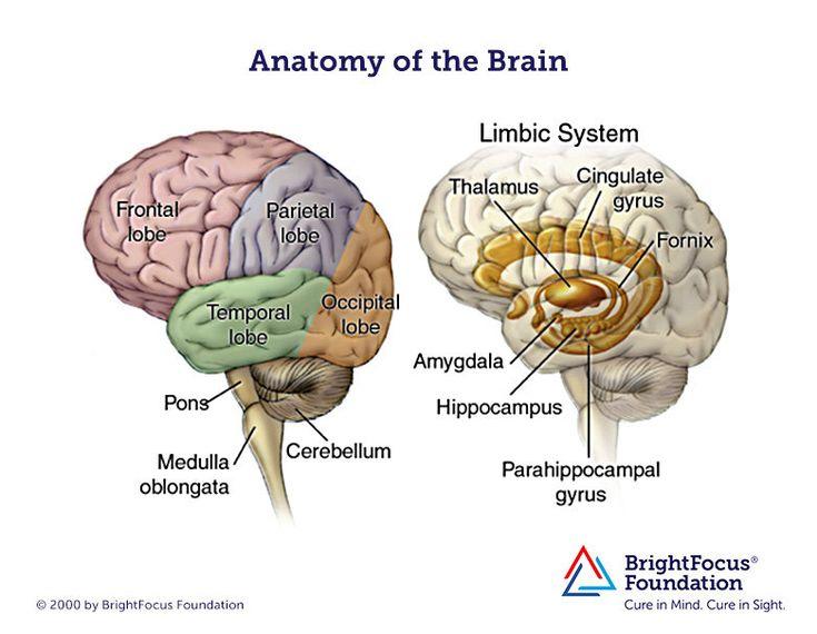 Brain Anatomy and Limbic System in 2020 | Brain anatomy ...