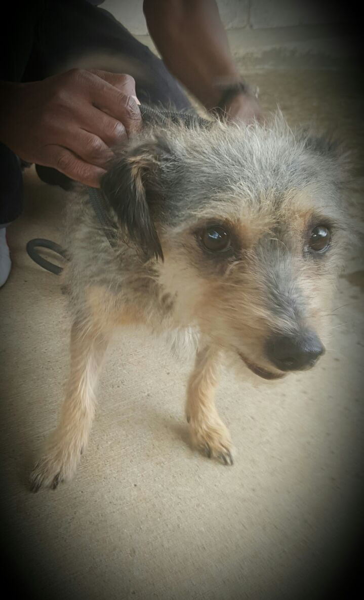 Meet Wilson. I am a wire haired terrier. I am 5 years old and looking for a family of my own. I am gentle and sweet and will love if you take me home. — at Johannesburg SPCA.