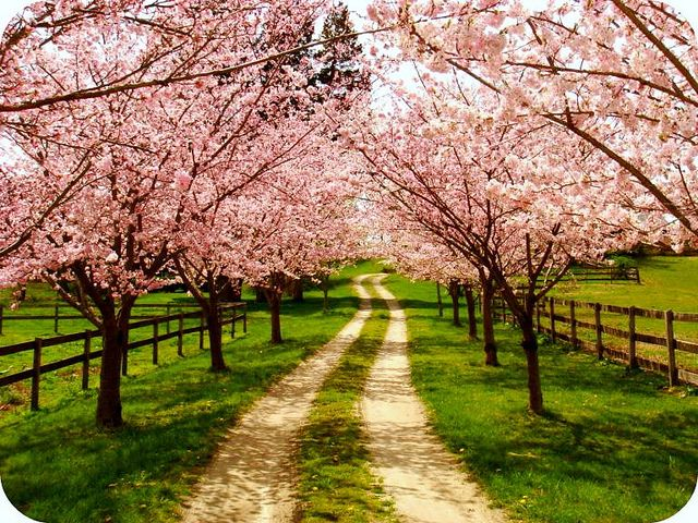 family farm. My mum and I planted these cherry trees our first year on the farm:)