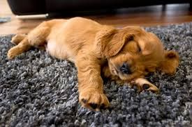 Image result for golden working cocker spaniel puppies