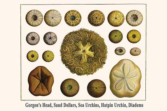 Gorgon's Head, Sand Dollars, Sea Urchins, Hatpin Urchin, Diadems