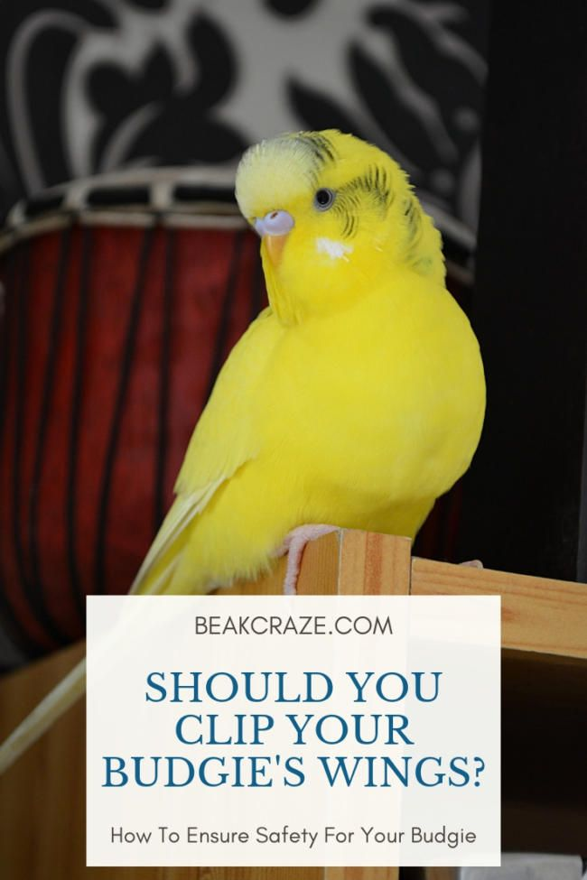 Is Clipping A Budgie S Wings Cruel Should You Do That Read This