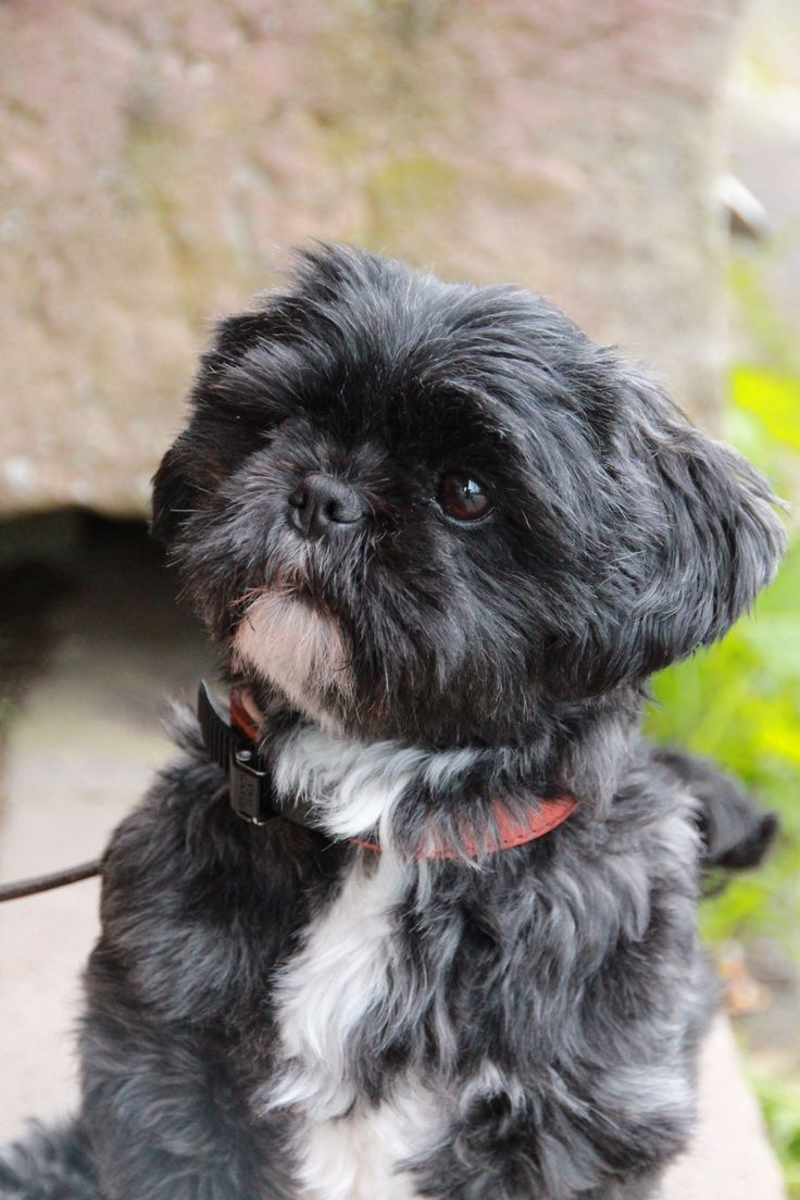 all about shih tzu 53 best black shihtzu images on pinterest shih tzus 6908