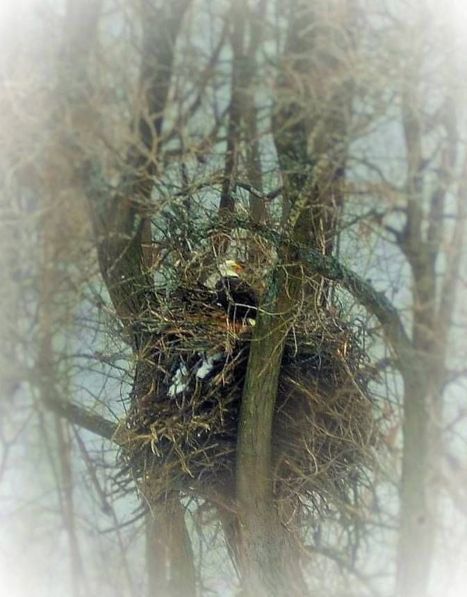 eagle nest mature singles Bigfoot caught on camera beneath a bald eagle nest the latest example is strange footage recorded by a nest monstrumathenaeum is intended for mature.