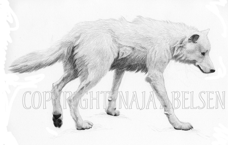 Peters Ulv (Wolf). Commissioned Pencil drawing by Naja Abelsen. (Original is sold). www.najaabelsen.dk