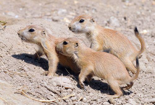 baby prairie dogs | BA * BABY Critters & Tweeters | Pinterest