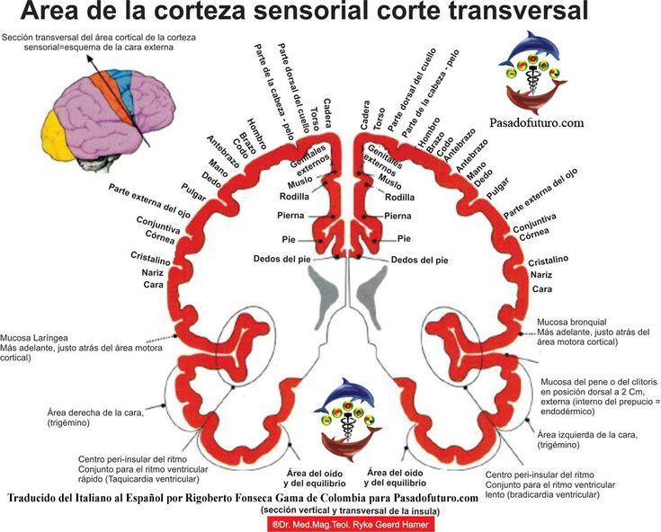 Corteza Cerebral Sensorial Ectodermo Nueva Medicina Germanica Hamer NMG Leyes Biologicas 5LB