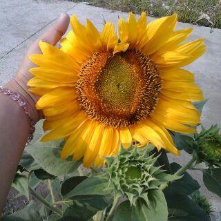 Segarkan halaman rumah Anda dengan bunga matahari. Bunga berwarna kuning ini tidak hanya membuat halaman rumah Anda menjadi semakin semarak, tapi juga indah dan menarik lebah madu untuk melakukan penyerbukan.