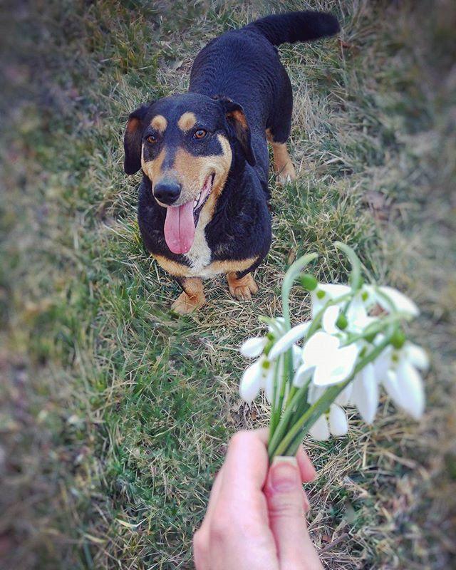 """Nekem? Tényleg? Köszi!"" ❤ #lovemydog #flowergram #snowdrops #bouquet #fromorsiwithlove #dachschund #dogsofig #instadogs #instamoments #gardening #happydog #mutimitcsinalsz #personalblog"