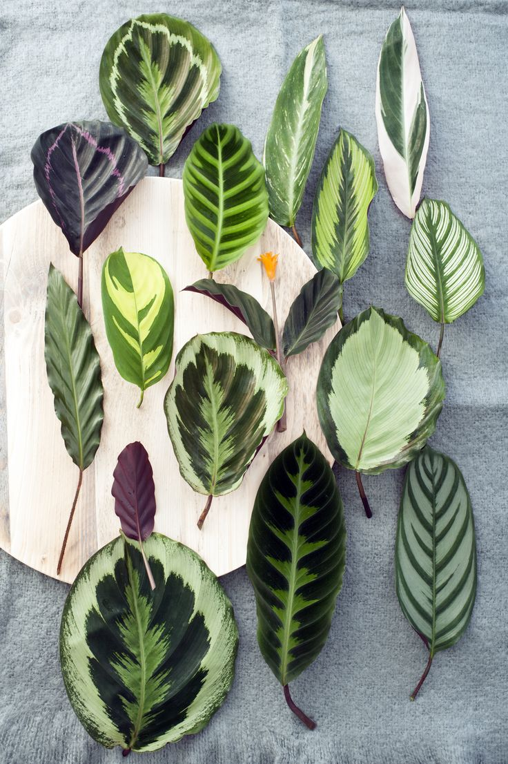 Patterned leaves of the Calathea plant