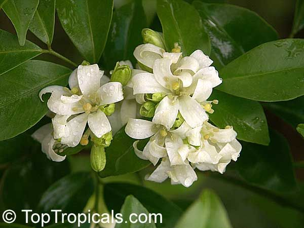 Orange Jasmine Plants for Sale . For garden sheds and raised garden beds visit www.gardenshedco.co.nz