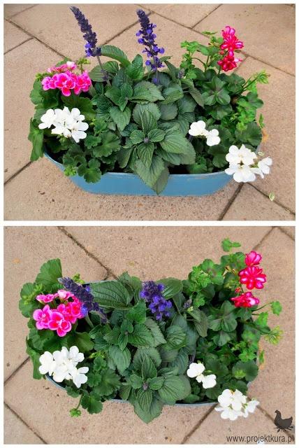 1. pelargonia rabatowa biała i różowa 2. szałwia ogrodowa