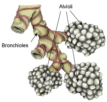 Alveoli - gaseus exchange