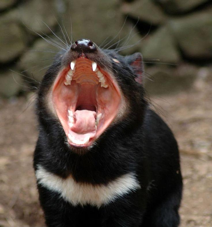 тасманийский дьявол Источник фото: woondu.com