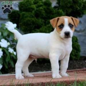Jack Russell Terrier Puppies For Sale Greenfield Puppies Jack Russell Terrier Puppies Jack Russell Terrier Jack Russell