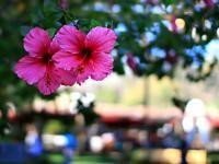 Planter des hibiscus de jardin ou Althéa (Fiches conseils)