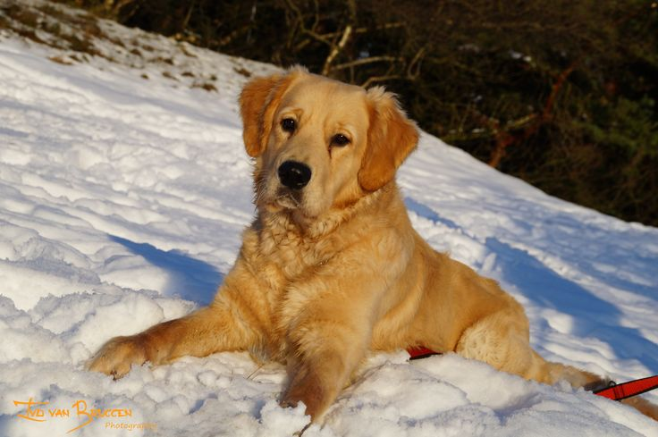 I had a walk with my sisters Golden Retriever. Here Pepper is playing in the snow