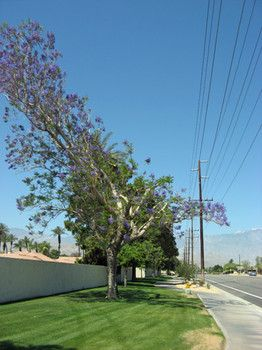 A Jacaranda tree severely trimmed to avoid power lines.