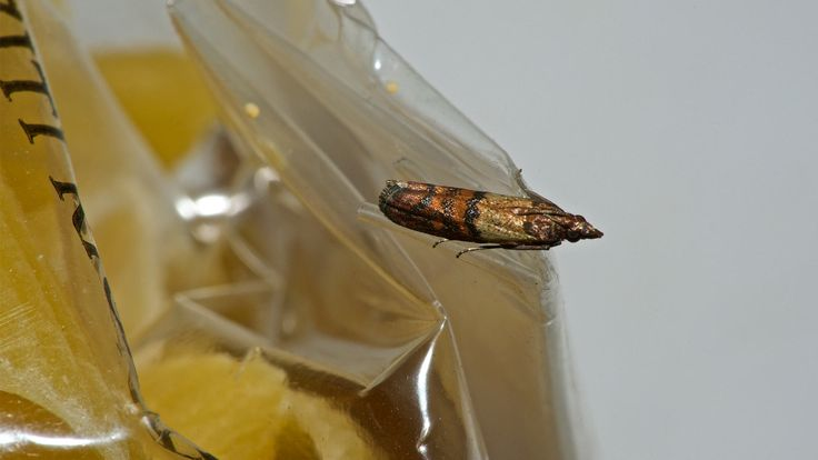How to Get Rid of Pantry Moths: Kitchen Pest Control Made Easy
