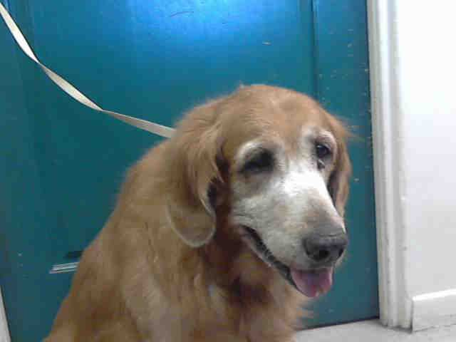 A408235 is an adoptable Golden Retriever searching for a forever family near Pasadena, CA. Use Petfinder to find adoptable pets in your area.