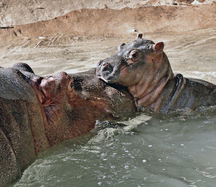 Sorpresivo nacimiento de hipopótamo en zoológico de Los Ángeles