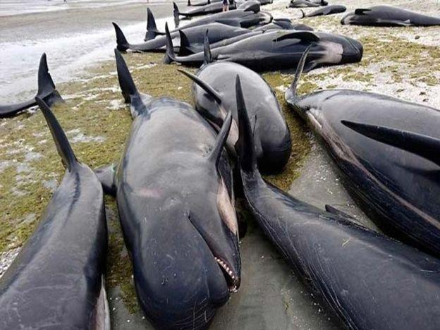 Bangkai paus terdampar di New Zealand   lebih 600 ikan paus terdampar di persisiran pantai Golden Bay dalam dua waktu yang berbeza daripada jumlah tersebut dianggarkan hanya 400 yang dapat diselamatkan.  GOLDEN BAY - NEW ZEALAND. Pihak berkuasa dan Jabatan Pemuliharaan (DOC) memberi amaran kepada orang ramai untuk laporkan jika terjumpa bangkai paus jenis Pilot di persisiran pantai ini kerana dikhuatiri akan meletup lapor GlobalNews. Setakat ini sebanyak 300 bangkai paus yang terkandas telah…