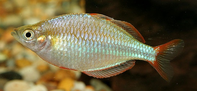 760 best images about fishes tropical fishes on for Dwarf rainbow fish